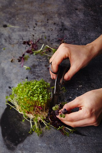 Cress being cut with scissors