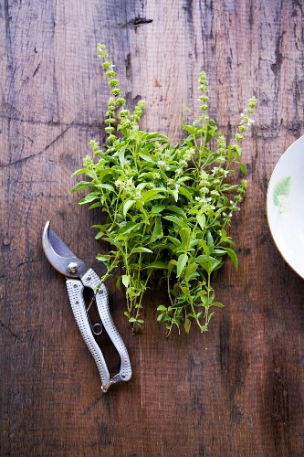 Lemon basil and a pair of herb scissors