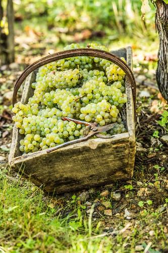 Freshly harvested grapes in a wooden basket