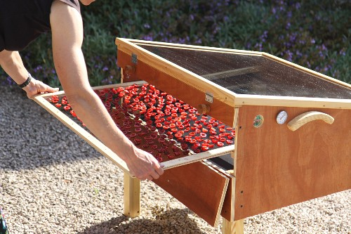 Fresh cherries being placed in a solar drying device