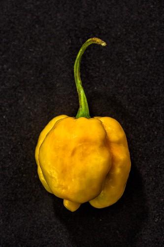 Chilli '7 Pod Yellow' (very spicy chilli pepper)