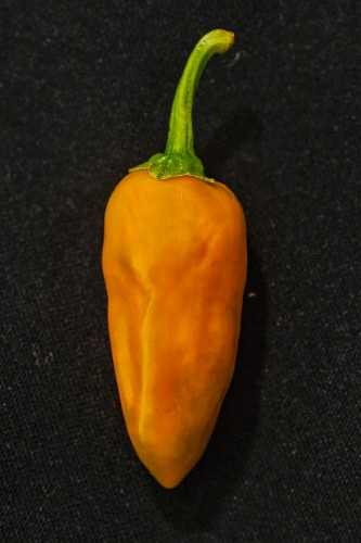 An orange 'Aji Rojo' chilli pepper