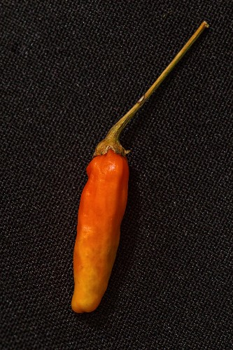 A Tabasco chilli pepper