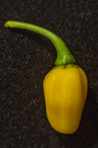 A White Habanero chilli pepper