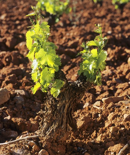 First shoots of spring on old Tempranillo vine, Spain