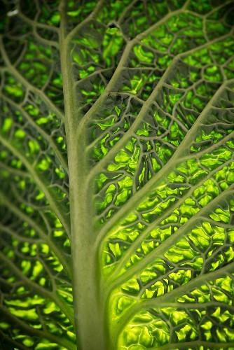 A savoy cabbage leaf, backlit