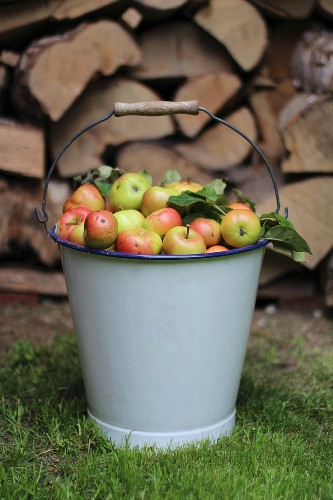 Small apples in an enamel bucket in front of a pile of wood in the garden