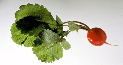 Fresh Red Radish with a Green Stem