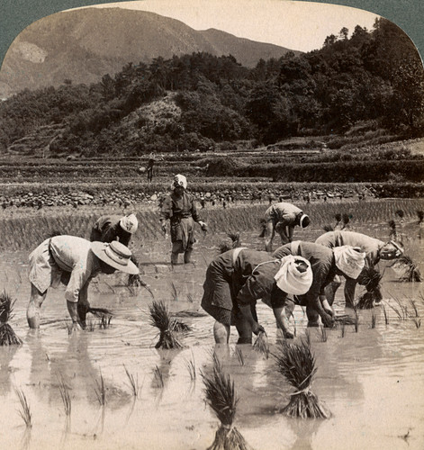 Farm labourers transplanting rice shoots, Kyoto, Japan, 1904