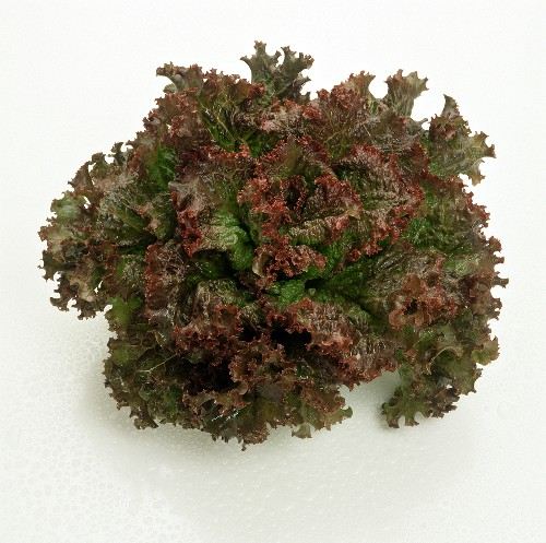 Head of Red Leaf Lettuce