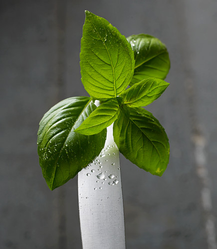 Fresh basil leaves on a knife tip with water droplets