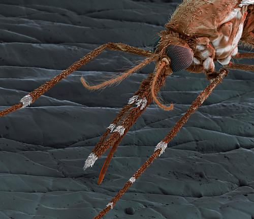 Anopheles mosquito on human skin, SEM