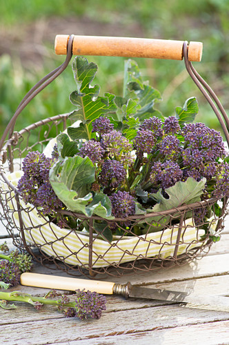 Freshly harvested, purple shooting broccoli in a wire basket