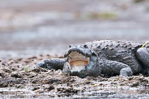 Marsh crocodile, India