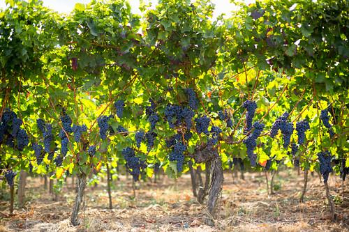 Ripe grapes in the sunlight