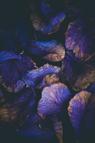 Dried ornamental cabbage leaves (Brassica oleracea)