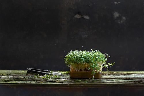 Frische Kresse in Keimschale mit Schere auf Holzplanke