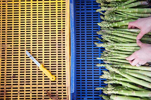 Hände legen frischen grünen Spargel in Steige