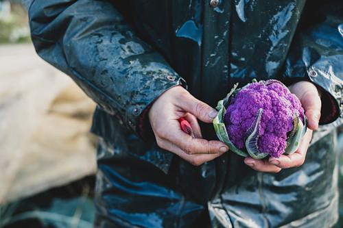 Mann hält frisch geernteten lila Blumenkohl