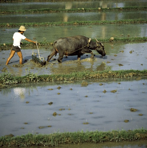 Man and Ox Plowing Rice