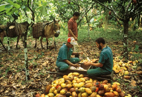 Worker opening cacao fruits & loosening the seeds