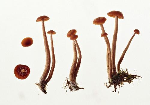 Deceivers (Laccaria laccata)