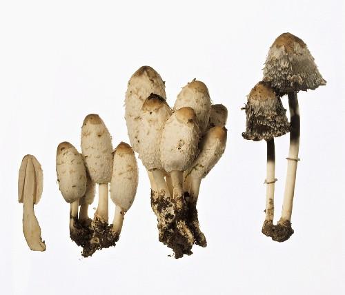 A few Shaggy Ink Caps (Coprinus comatus)