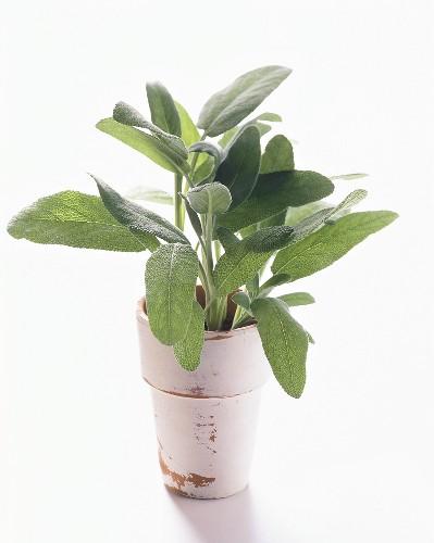 Fresh Sage in a Ceramic Pot