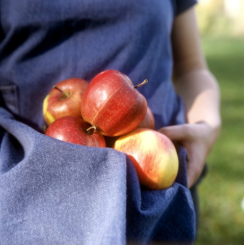 Freshly picked apples in an apron