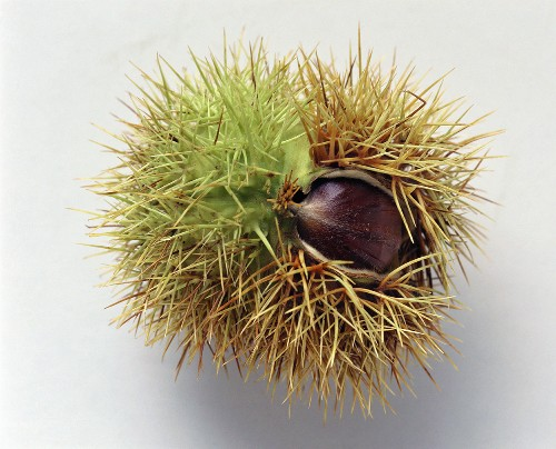 A sweet chestnut in opened prickly shell