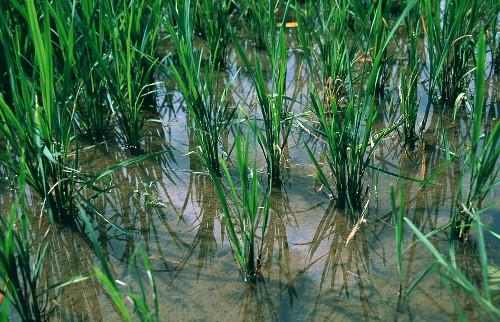 Rice Field Under Water