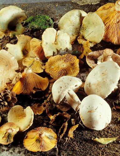 Meadow mushrooms and milkcaps