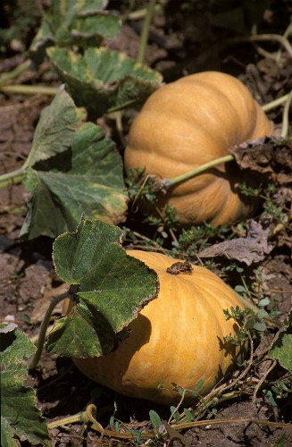 Two yellow Japanese pumpkins in the field
