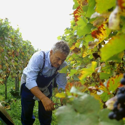 Grape picker at vintage in Hagnau on Lake Constance, Germany