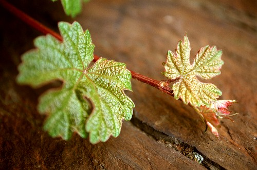 Young Riesling vine tendril on wooden surface, Winningen, Mosel