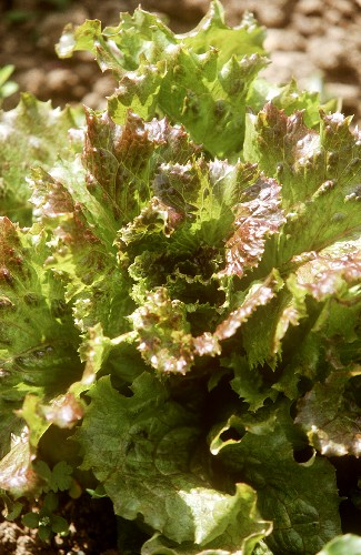 Batavia lettuce (variety: Gloire Dauphine) in the field