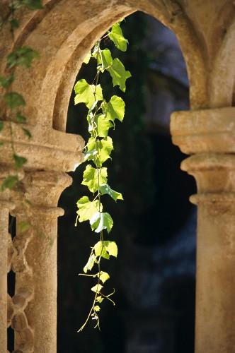 Weinranke an alten Säulen, Chateau Valmagne, Languedoc
