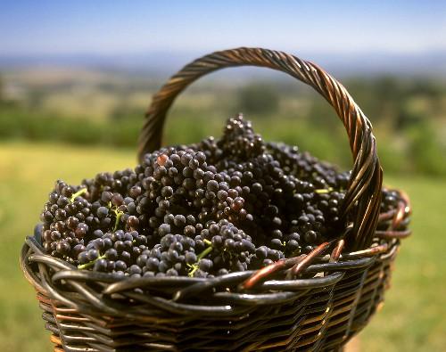 Cabernet Sauvignon grapes in basket, Coldstream, Victoria