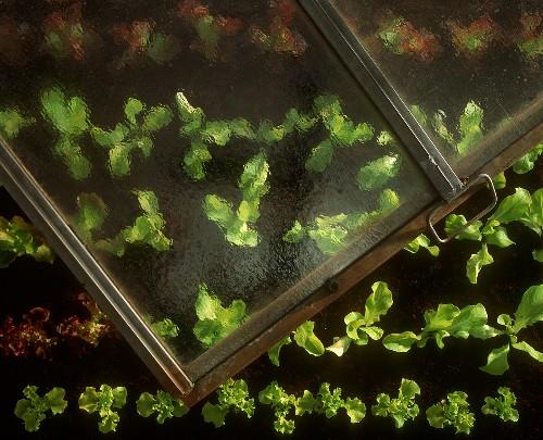Lettuces in cold frame