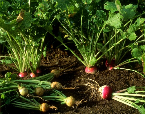 Autumn turnips and Teltow turnips on vegetable bed