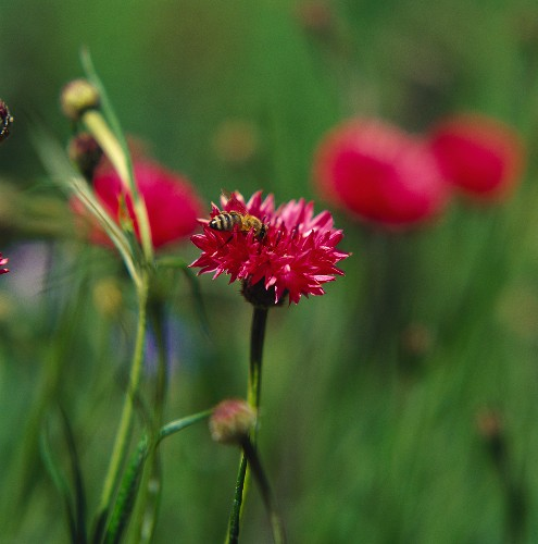 Red cornflowers (Centaurea cyanus) with bee