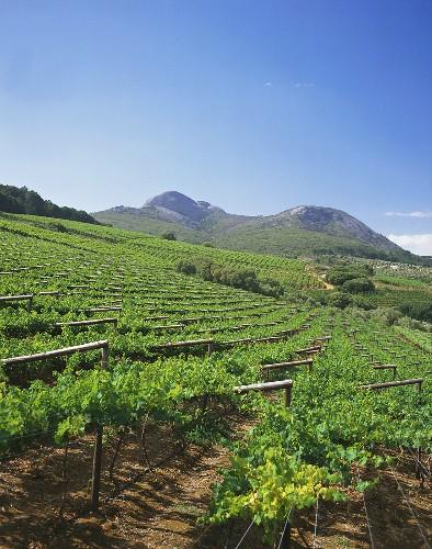 Vineyards in Paarl, wine region near Cape Town, S. Africa