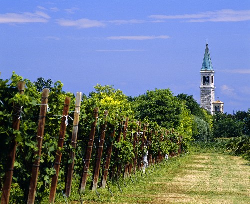 Rebzeilen und Kirchturm bei Ruda, Aquileia, Friaul, Italien
