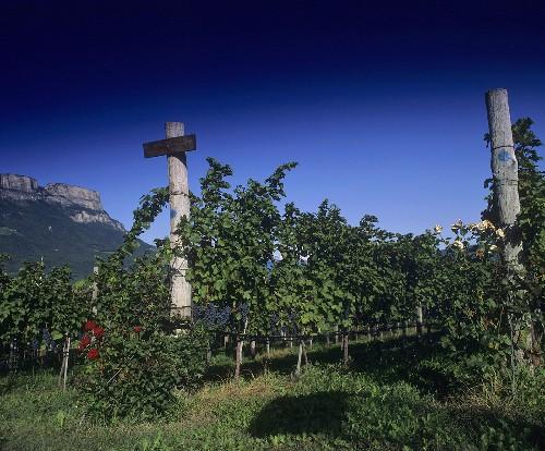 Vineyard, Schreckbichl (Colterenzio) Winery, Girlan, S. Tyrol, Italy