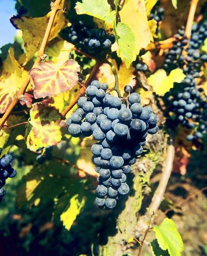 Barbera, an Italian grape variety