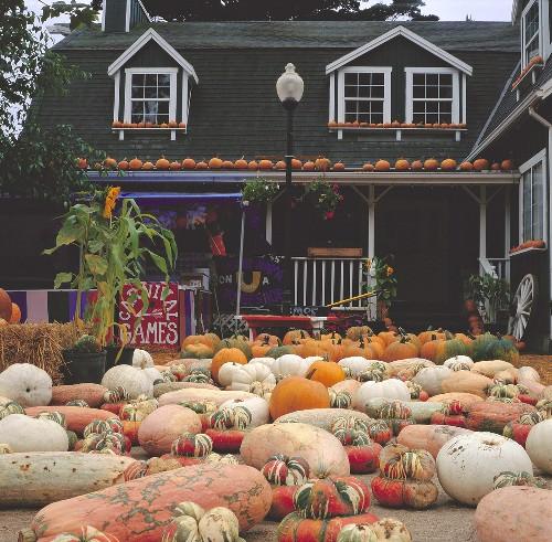 Colourful pumpkins in front of a pumpkin farm in America