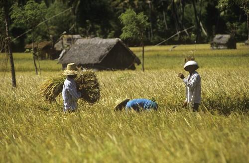 Worker in a rice field in Bali