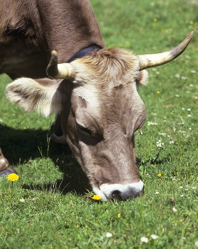 Cow eating grass in a pasture