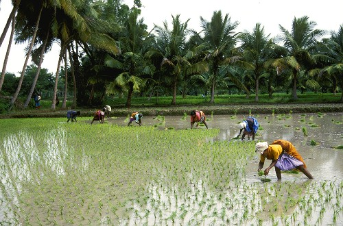 Worker in Indian rice field