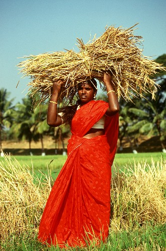 Indian woman carrying ears of rice on her head